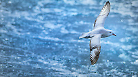 In der Drake Passage- Southern Fulmar<br /> (Antarctic or silver fulmar)<br /> <br /> Full size: 85 MB
