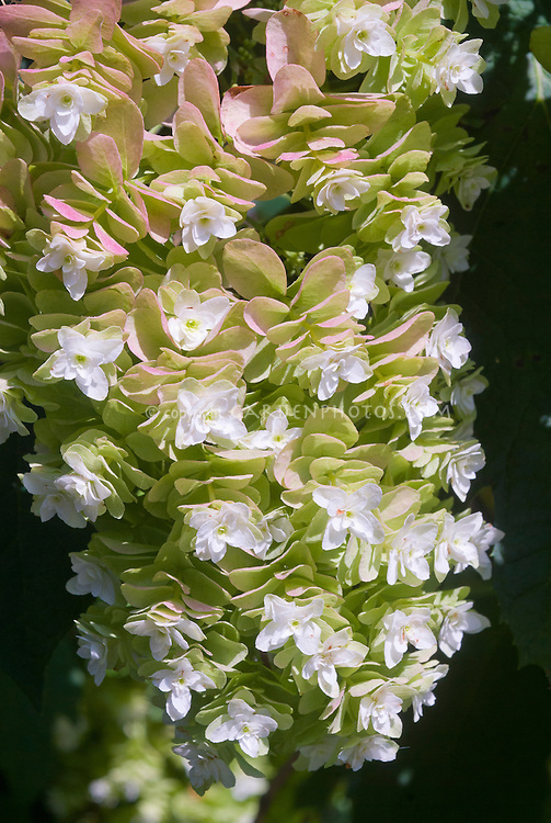 Hydrangea quercifolia 'Snowflake' Oak leaf Hydrangea in August flowers closeup
