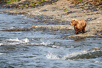 A small brown bear is ready to fishat the McNeil River Falls,  in Alaska's McNeil River State Game Sanctuary.