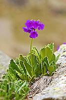 Breitblättrige Primel, Breitblättrige Schlüsselblume, Primula latifolia, La Primevère à larges feuilles