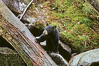 Black Bear (Ursus americanus) cub.