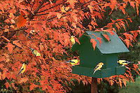 Green painted birdhouse with fall foliage and many yellow goldfinch, Carduelis tristis, Missouri