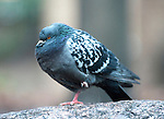 Cold weather - pigeon  in Central London today..Maybe to keep at least one leg warm as temperatures dipped in the capital this pigeon  stood like a flamingo on a rock outside Southwark Crown Court..11.12.12.....Pic by Gavin Rodgers/Pixel 8000 Ltd