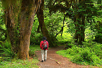 Woman hiking on trail through temperate old growth rain forest, Hall of Mosses Trail, Hoh Rain Forest, Olympic National Park, Olympic Peninsula, Jefferson County, Washington, USA