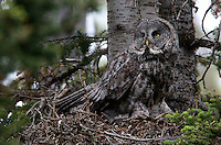 The Great Grey Owl (Strix nebulosa) is a very large owl, distributed across the Northern Hemisphere, but difficult to find. In some areas it is also called the Great Gray Ghost, Phantom of the north. <br /> For nesting, Great Gray Owls use abandoned structures built by ravens or hawks.