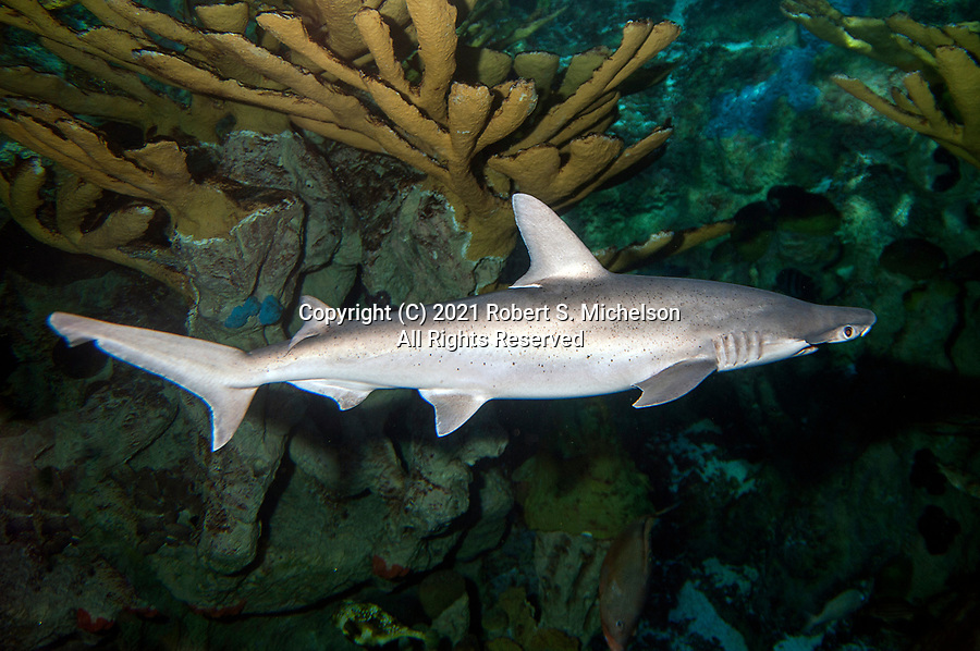 Bonnethead shark swimming right over shallow coral reef.