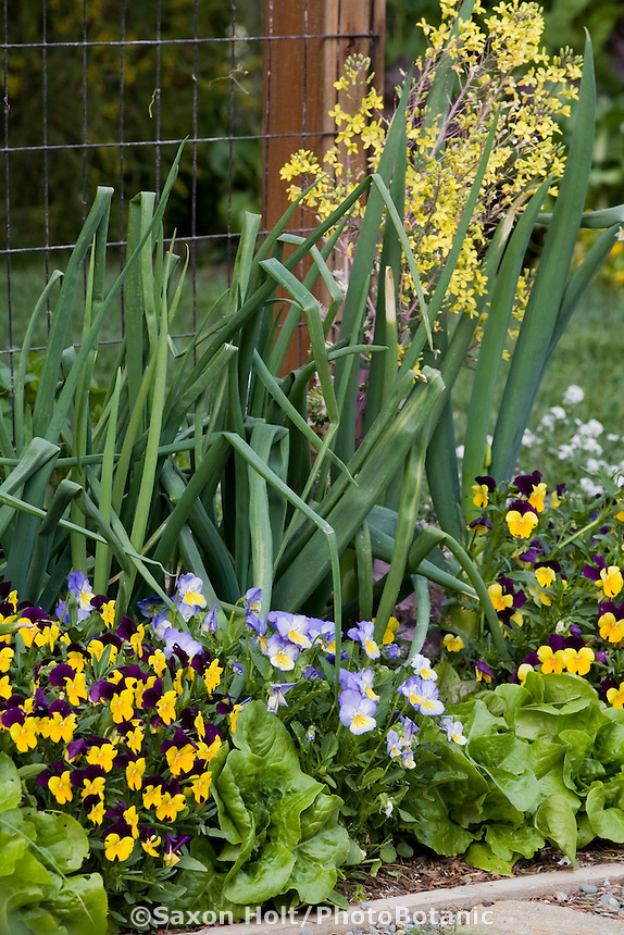 Ornamental edible border with onions, lettuces, and pansy flowers, Rosalind Creasy front yard garden