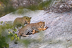Female leopard (Panthera pardus) with one of its cubs / offspin, killing a feral / domestic dog  on rocky outcrop. Jawai / Bera in Rajasthan, India.