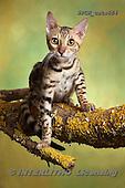 Xavier, ANIMALS, REALISTISCHE TIERE, ANIMALES REALISTICOS, cats, photos+++++,SPCHCATS854,#a#