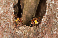 Hornisse, am Eingang zum Nest in altem Baum, Baumhöhle, Vespa crabro, hornet, brown hornet, European hornet