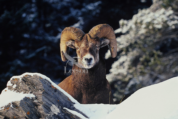 Rocky mountain bighorn sheep (Ovis canadensis).