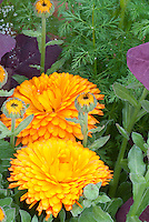 Calendula officinalis, pot marigold in orange yellow flowers and buds, medicinal plant, calming antimicrobial