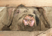 Gloucester Old Spot pig.