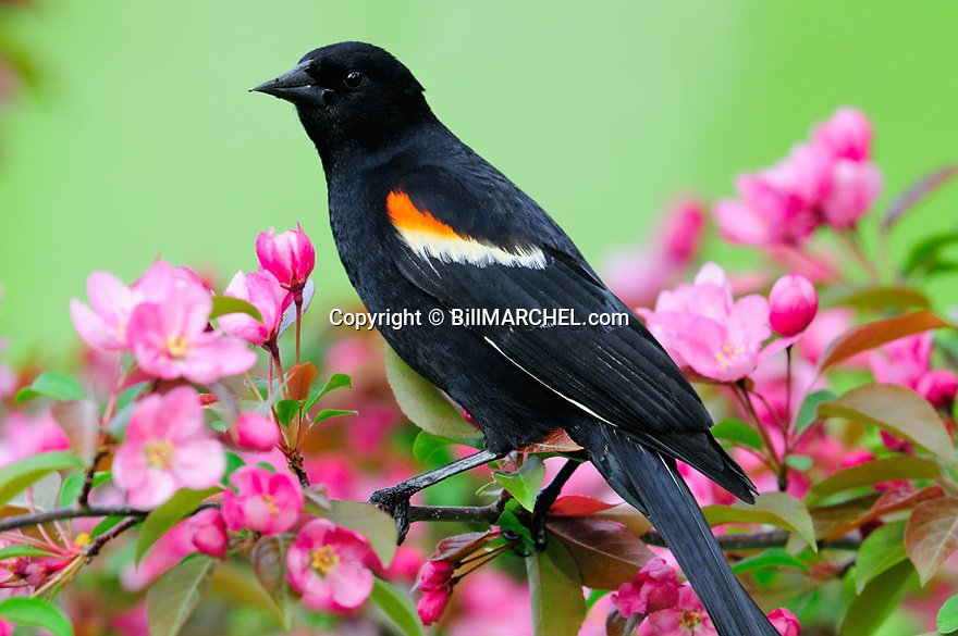 00080-012.15 Red-winged Blackbird male is perched in red splendor crab apple tree in bloom.  Spring, pink, backyard, landscape.