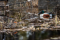 Northern Shoveler (Anas clypeata) in Southcentral Alaska. Photo by James R. Evans