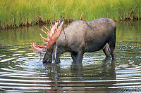 freshwater, moose, Alces alces, bull with large bloody antlers in shedding velvet in a pond and the, Alaska, USAn range in the backround, Denali National Park,, Alaska, USA