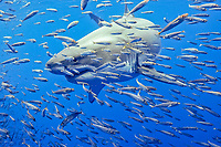 Great White Shark in school of small bait fish, Carcharodon Carcharias, Guadalupe Island, Mexico, Pacific Ocean