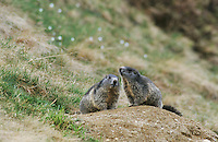Alpine Marmot, Marmota marmota, adults at burrow, Ritom, Switzerland, June 2001