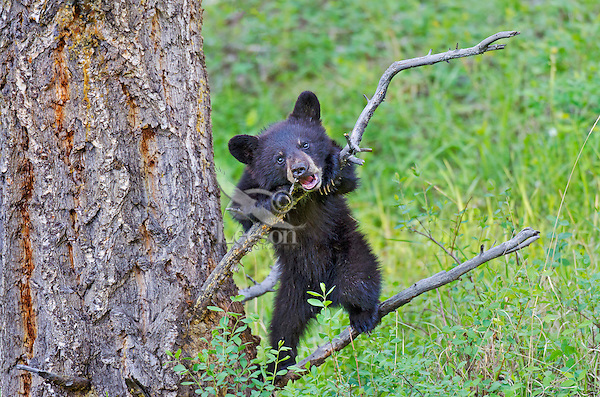 """Wild Black Bear (Ursus americanus) cub playing with/on tree branch.  Western U.S., spring. (This is what is known as a """"coy""""--cub of the year.)"""