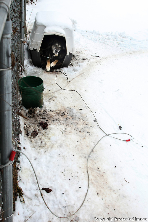 Rocky, whose owner says he is a malamute, lives 24/7 on a chain in his owner's backyard in Enumclaw, Wash. on January 7, 2009.   (Karen Ducey/Seattle Post-Intelligencer)