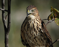 Sharp-shinned & Cooper's hawks commonly prey on feeder birds, and they are frequently reported by Feeder-Watchers. (That would be me) :)