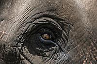 Dubare forest . Elephant eye<br /> Particolare di un occhio di un elefante