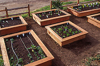 Seedling vegetables in wooden box raised beds with drip irrigation lines in fresh organic soil