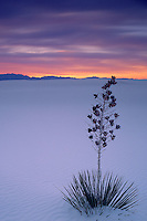 Soaptree yucca <br />    and San Andres Mountains <br /> White Sands National Monument <br /> Chihuahuan Desert, New Mexico