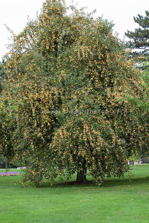 Crabapple fruits in yellow of Golden Hornet showing tree laden with crab apples . Crab apple