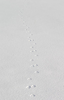Coyote tracks disappear into the Lamar Valley.
