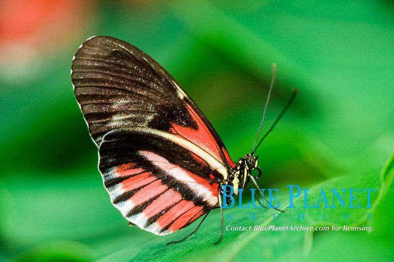 Passion Flower Butterfly (Heliconius melpomene) side