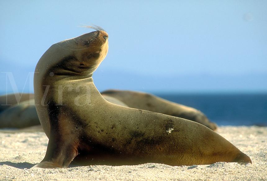 Galapagos Sea Lion, Zalophus californiensis. Marine mammal. Punta Espinosa, Fernandina Galapagos Islands Ecuador Pacific Ocean, 650 miles west of S. Am.