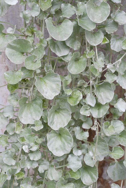 Dichondra argentea 'Silver Falls'