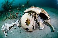 Loggerhead Sea Turtle (Caretta caretta) in Palm Beach, Florida.