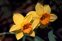 Yellow Daffodils / Daffodil (Narcissus) in bloom, Spring Flowers blooming in Flower Garden