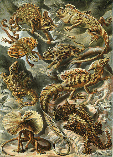 Lacertilia (Lizards), by Ernst Haeckel, 1904