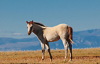 Wild horse, red roan foal (born in 2010) with wind in his tail stands at the edge of the world.
