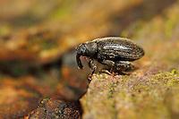 Buchenspringrüssler, Buchenspring-Rüssler, Orchestes fagi, Rhynchaenus fagi, beech flea weevil, Le Charançon du hêtre