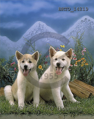 Alfredo, ANIMALS, photos, 2 dogs, flowers, meadow(BRTO14219,#A#) Hunde, perros