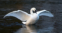 A trumpeter swan flaps its wings while standing in the Madison River.