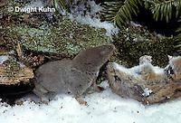 MU11-153z  Short-tailed Shrew - with deer mouse prey -  Blarina brevicauda