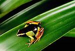 Variegated golden frog, Madagascar