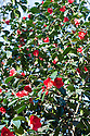 Camellia japonica 'Kimberley', late March.