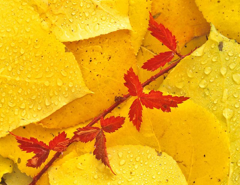 Blackberry vine in fall color in aspen leaves. Near Alpine, OR