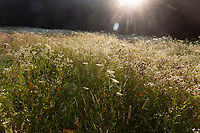 Meadow with Queen Anne's Lace, Lenox, Berkshire Hills, MA