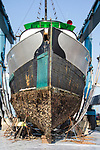 Port Townsend, Boat Haven Marina, purse seiner hauled out after years of marine growth, Port of Port Townsend, Puget Sound, Washington State, Pacific Northwest, USA,