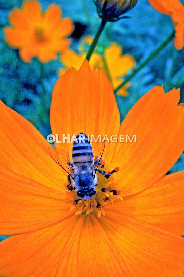 Animais. Insetos. Abelha polinizando flores. SP. Foto de Juca Martins.