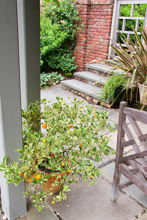 Variegated citrus in pot container on stone patio near brick wall with house steps, food plant oranges edibles in container garden, specimen phormium plant in pot, garden chair furniture