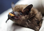An male adult big brown bat eats a mealworm during the NorCal Bats event Saturday afternoon at the Carson City Library..Photo by Cathleen Allison