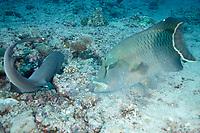 A white tip shark (Triaenodon obesus) hunting with a Napolean / humphead / Maori wrasse (Cheilinus undulatus), Blue corner, Palau, Micronesia, Pacific ocean, Asia